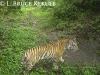 Indochinese tiger camera-trapped in Huai Kha Khaeng