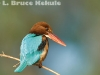 White-throated kingfisher by the Mae Ping River