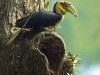 Wreathed hornbill in Kaeng Krachan
