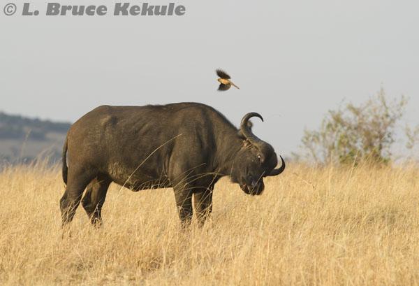 Cape buffalo and oxpecker in Masai Mara