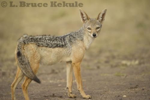 African black-backed jackal in Maasai Mara in Kenya