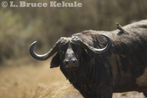 Cape buffalo in the Maasai Mara