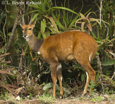 Bushbuck in Siana Springs Conservancy