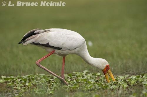 African painted stork in Lake Nakuru