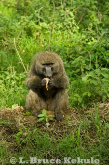 Baboon eating a guineafowl chick in Nakuru