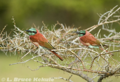 Bee-eaters in Lamu Island