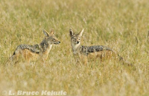 Black-backed jackal pair in Sweetwaters