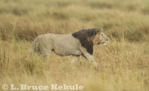 Black-maned lion in Maasai Mara