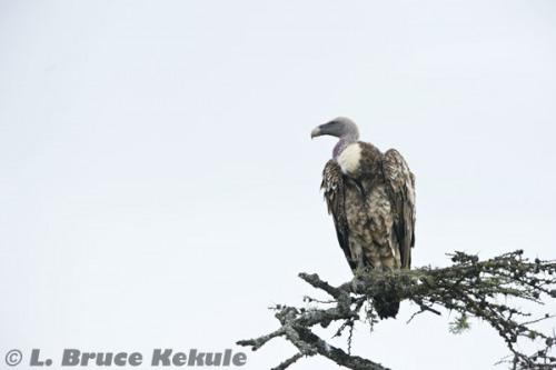 Griffon vulture in Sweetwaters