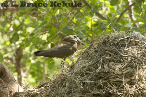 Hamerkop building a nest at the Mara Simba lodge