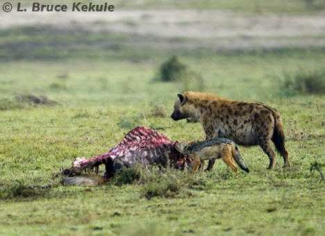 Hyena and jackal on kill in the Masai Mara