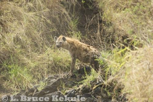Hyena in Maasai Mara