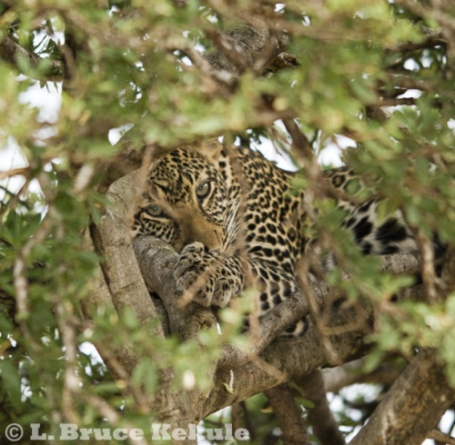 Leopard in Kenya