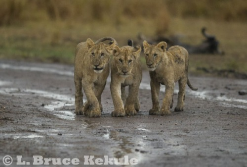 Lion cubs in Maasai Mara