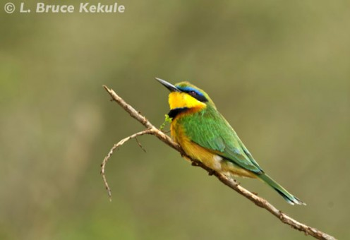Little bee-eater in Nairobi National Park
