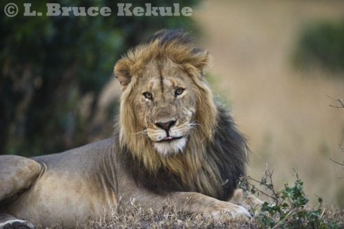 Male lion in late afternoon in Maasai Mara