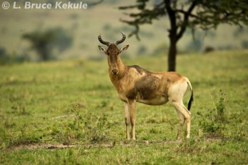 Red hartebeest in the Masai Mara