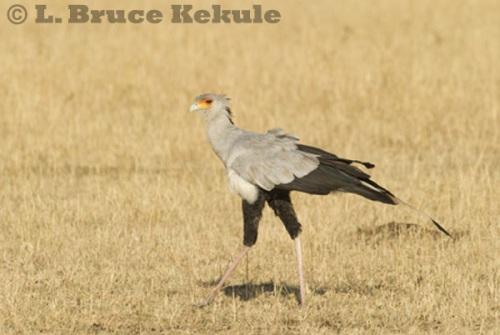 Secretary Bird on the savannah in Maasai Mara