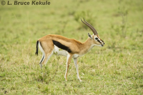 Thomson's gazelle in the Siana Springs Conservancy