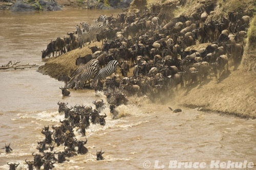 Wildebeest and Zebra crossing the Mara River