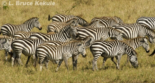 Zebras in the Masai Mara