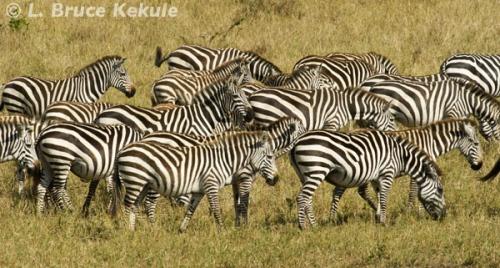 Zebras in the Masai Mara