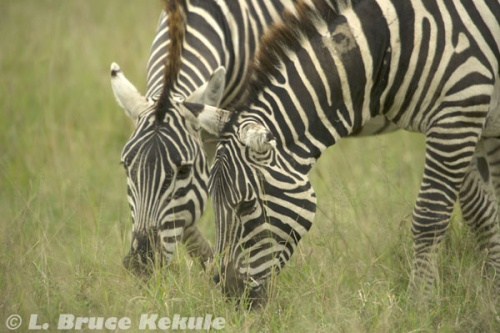 Zebras grazing in Sweetwaters
