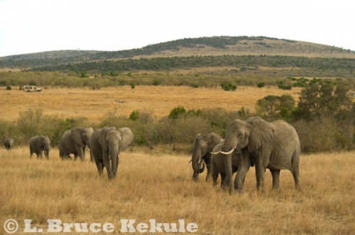 afircan-elephants-on-savannah