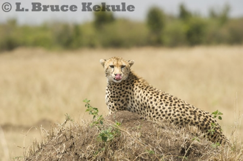 Cheetha in Maasai Mara