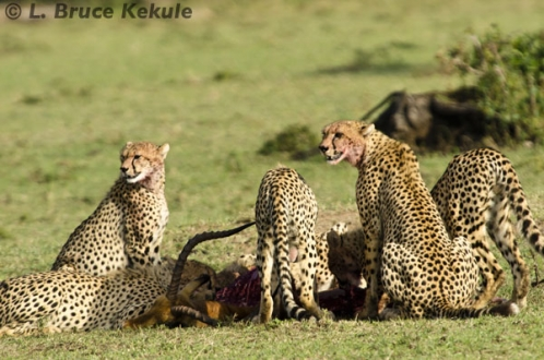 Cheethas on a kill (Impala buck)
