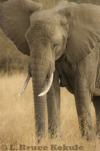 African elephant at Maasai Mara, Kenya