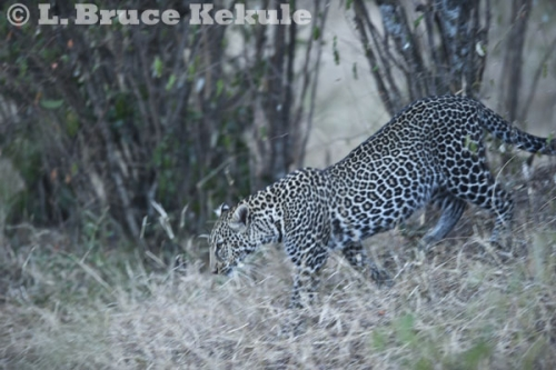 Leopard on the Maasai Mara