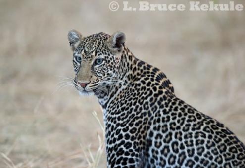 Leopard on the Maasai Mara
