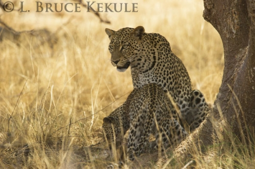 Leopard mother and cub in Samburu