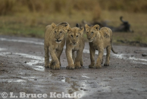 Lion cubs in Maasai Mara