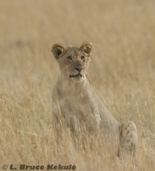 Female lion in the savanna of Masai Mara