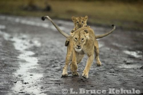 Lion mother and cub in Maasai Mara
