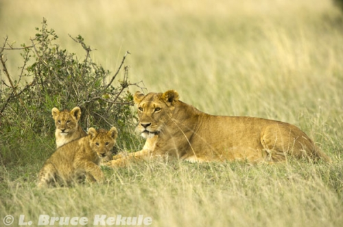 Mother lion and cubs in Sweetwaters nature reserve
