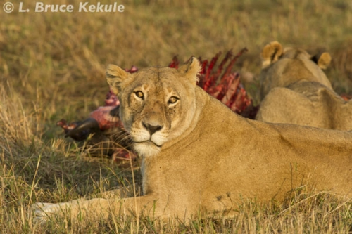 lions-at-a-kill-in-masai-mara