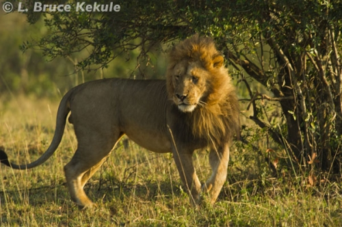 Male lion in the Masai Mara