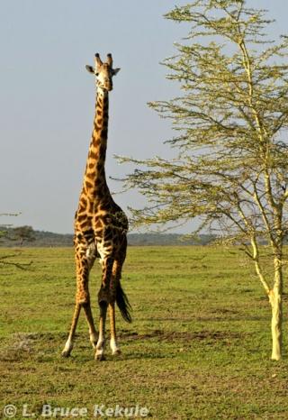 Masai giraffe in Siana Springs Conservancy