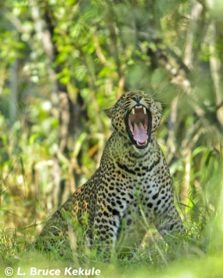 Leopard mother in Kenya