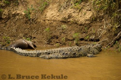 Crocodile and wildebeest carcass in Maasai Mara