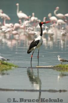 Saddle-billed stork and flamingos in Lake Nakuru