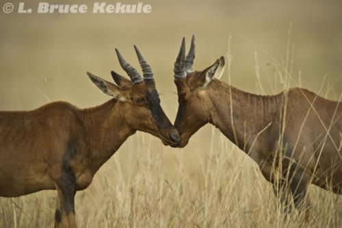 Topi antelope in Masai Mara