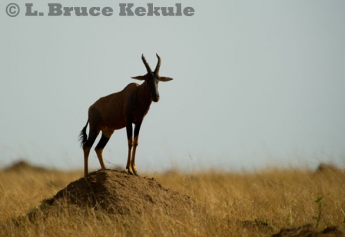 Topi on a termite mound in Maasai Mara