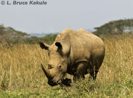 White rhino in Nairobi National Park