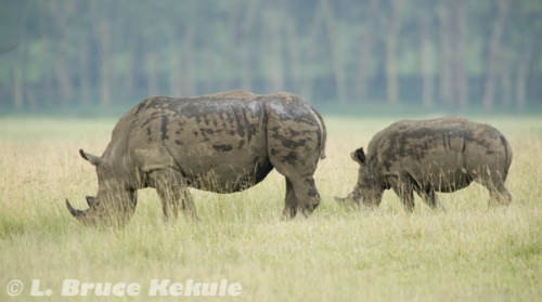 White rhinos in Lake Nakuru