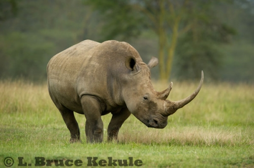 White rhino at Lake Nakuru