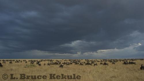 Wildebeest on the savannah in Maasai Mara during late afternoon